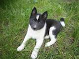 Собаки, щенята Російсько-Європейська лайка, ціна 1600 Грн., Фото