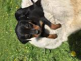 Собаки, щенки Неизвестная порода, цена 2600 Грн., Фото