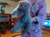 Кішки, кошенята Британська короткошерста, ціна 800 Грн., Фото