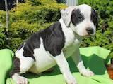 Собаки, щенята Американський стаффордширський тер'єр, ціна 6000 Грн., Фото