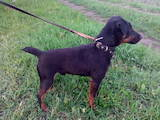 Собаки, щенки Русско-Европейская лайка, цена 2700 Грн., Фото