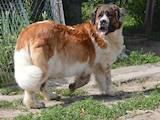 Собаки, щенки Московская сторожевая, цена 8000 Грн., Фото