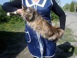 Кішки, кошенята Мейн-кун, ціна 1000 Грн., Фото