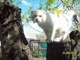 Кішки, кошенята Шотландська висловуха, ціна 750 Грн., Фото