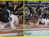 Собаки, щенята Французький бульдог, ціна 7000 Грн., Фото