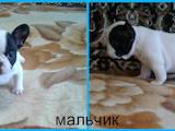 Собаки, щенки Французский бульдог, цена 7000 Грн., Фото