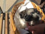 Собаки, щенята Ши-тцу, ціна 2500 Грн., Фото