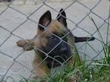 Собаки, щенята Бельгійська вівчарка (Малінуа), ціна 13500 Грн., Фото