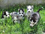 Собаки, щенки Сибирский хаски, цена 4800 Грн., Фото