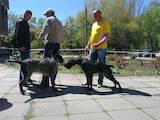 Собаки, щенята Німецька жорсткошерста лягава, ціна 15000 Грн., Фото