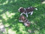Собаки, щенята Німецька жорсткошерста лягава, ціна 1600 Грн., Фото