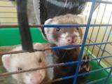 Животные Фретки, хорьки, цена 1100 Грн., Фото
