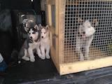 Собаки, щенята Сибірський хаськи, ціна 2900 Грн., Фото