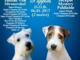 Собаки, щенята Джек Рассел тер'єр, ціна 16000 Грн., Фото