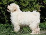 Собаки, щенки Неизвестная порода, цена 29000 Грн., Фото