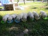Собаки, щенята Кавказька вівчарка, ціна 3000 Грн., Фото