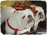 Собаки, щенята Англійський бульдог, ціна 26000 Грн., Фото