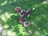 Собаки, щенки Разное, цена 1600 Грн., Фото