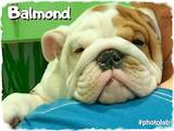 Собаки, щенята Англійський бульдог, ціна 26500 Грн., Фото