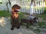Собаки, щенята Німецька жорсткошерста лягава, ціна 1400 Грн., Фото