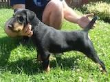 Собаки, щенята Ягдтер'єр, ціна 7000 Грн., Фото