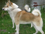 Собаки, щенки Западно-Сибирская лайка, цена 1100 Грн., Фото