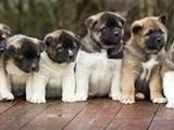 Собаки, щенята Американський акіта, ціна 10 Грн., Фото