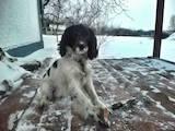 Собаки, щенки Русский спаниель, цена 100 Грн., Фото