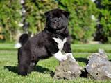Собаки, щенки Американский акита, цена 38000 Грн., Фото