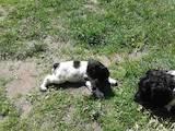 Собаки, щенята Російський спаніель, ціна 800 Грн., Фото