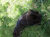 Собаки, щенята Лабрадор ретрівер, ціна 1500 Грн., Фото