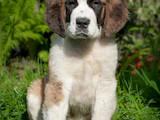 Собаки, щенки Сенбернар, цена 4900 Грн., Фото