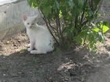 Кішки, кошенята Безпорідна, ціна 500 Грн., Фото