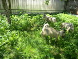 Собаки, щенята Західно-Сибірська лайка, ціна 3 Грн., Фото