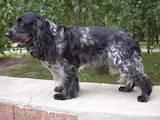 Собаки, щенки Русский спаниель, цена 5300 Грн., Фото