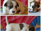 Собаки, щенята Джек Рассел тер'єр, ціна 14000 Грн., Фото