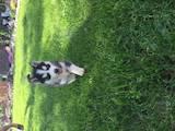 Собаки, щенки Сибирский хаски, цена 3200 Грн., Фото