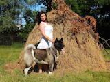 Собаки, щенята Американський акіта, ціна 45000 Грн., Фото