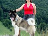 Собаки, щенки Американский акита, цена 45000 Грн., Фото