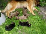 Собаки, щенята Німецька вівчарка, ціна 1600 Грн., Фото