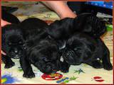 Собаки, щенки Кане Корсо, цена 2700 Грн., Фото