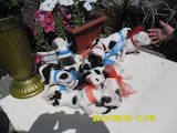 Собаки, щенята Американський стаффордширський тер'єр, ціна 2200 Грн., Фото