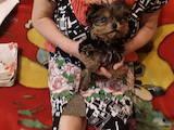 Собаки, щенки Йоркширский терьер, цена 2000 Грн., Фото