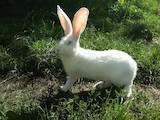 Гризуни Кролики, ціна 90 Грн., Фото