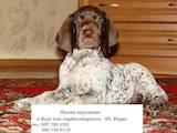 Собаки, щенята Німецька гладкошерста лягава, ціна 450 Грн., Фото