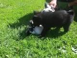 Собаки, щенки Русско-Европейская лайка, цена 1 Грн., Фото