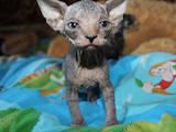 Кошки, котята Канадский сфинкс, цена 1700 Грн., Фото