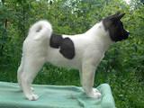 Собаки, щенки Американский акита, цена 14000 Грн., Фото
