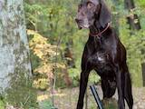 Собаки, щенята Німецька гладкошерста лягава, ціна 13500 Грн., Фото