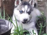 Собаки, щенята Сибірський хаськи, ціна 2800 Грн., Фото